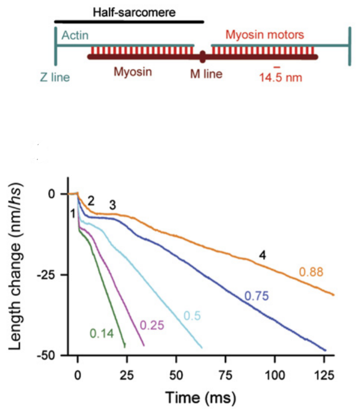 Length Time Sarcomere Curve